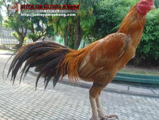 Karakter Ayam Bangkok Emas dan Keistimewaan