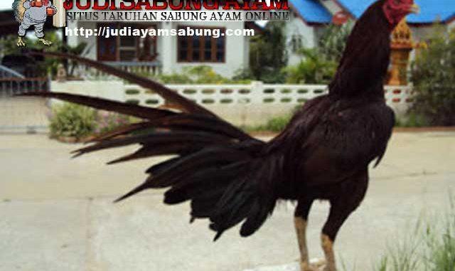 Trik Rahasia Menumbuhkan Bulu Ayam Bangkok Dengan Cepat