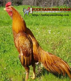 Karakter dan Keistimewaan Ayam Bangkok Berwarna Emas