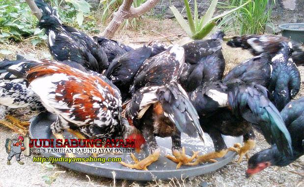Tips Pemberian Pakan Ayam Bangkok Yang Baik dan Benar Berdasarkan Umur