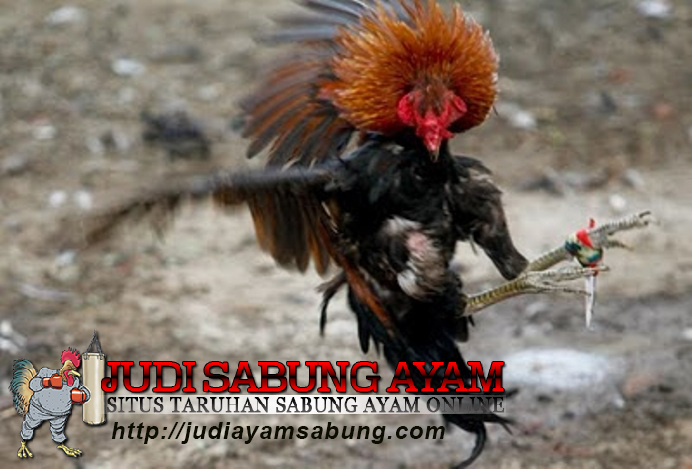 persiapan jelang ayam jago bertanding
