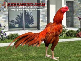 tips memilih ayam bangkok