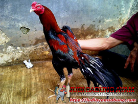 Harga Ayam Bangkok Terbaru
