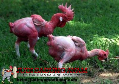 inilah-lima-ayam-langkah-dan-unik-di-dunia