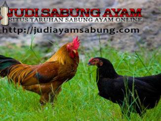 Trik Merontokkan & Menumbuhkan Bulu Ayam