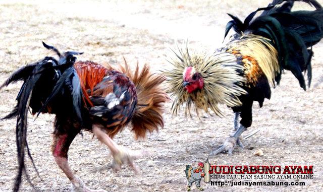 Fakta Unik Yang Sangat Mengejutkan Tentang Ayam Bangkok Aduan !!