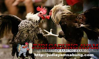 Warna Bulu Ayam Bangkok Yang Paling Populer