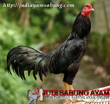 Ciri-ciri Ayam Bangkok Super Jalu Mematikan!!!