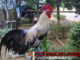 Cara Merawat Ayam Ketawa Dari Virus Pilek