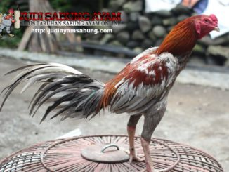 ayam-aduan-brazil-min