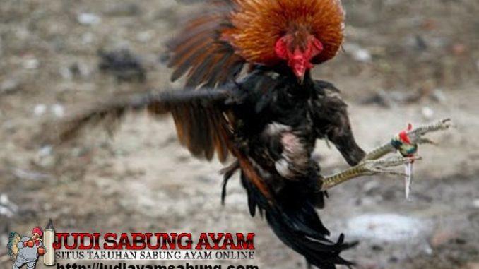ayam-aduan-terpopuler-1-min
