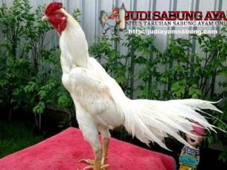 ayam-bangkok-putih-min