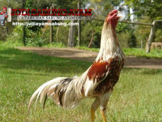 ayam-bangkok-shamo-min