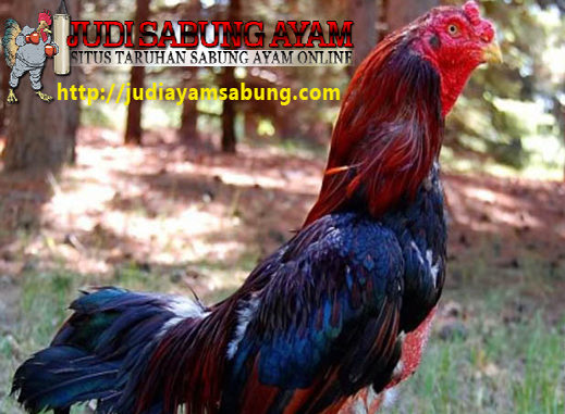 Tips Mengobati Luka Ayam Bangkok