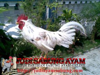 Kenali Jenis Ayam