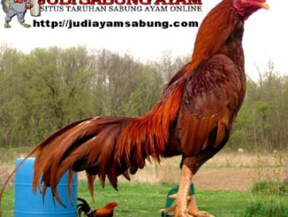 Tips Memilih Ayam Bangkok Super