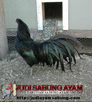 Ayam Sumatra