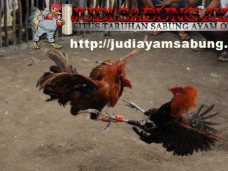 Inilah Kelebihan dan Kekurangan Ayam Filipina