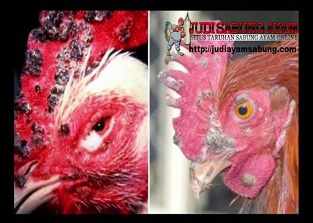 Kenali Macam-macam Penyakit Ayam Bangkok