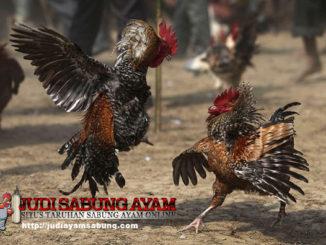 Jenis Pukulan Dahsyat Ayam Bangkok Yang Paling Mematikan