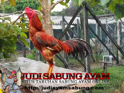Manfaat dan Khasiat Lidah Buaya Bagi Ayam Bangkok yang terluka