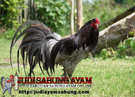 ayam sumatera-ayam-aduan-super-dari-andalas