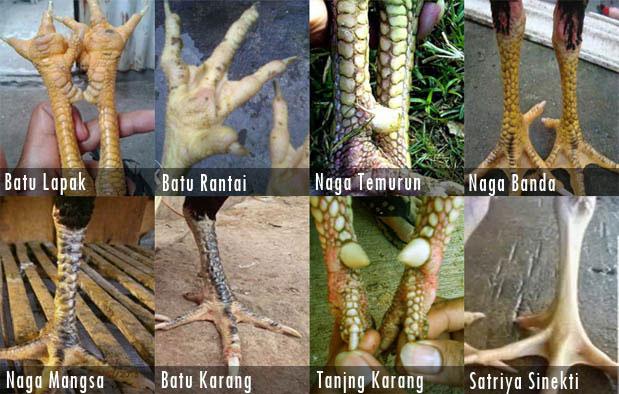 10-keunikan-katuranggan-sisik-ayam-bangkok-pukul-mati-gambar-2