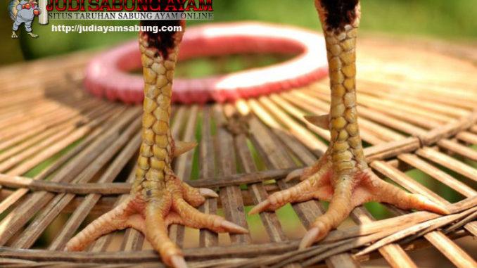 10-keunikan-katuranggan-sisik-ayam-bangkok-pukul-mati-gambar-1
