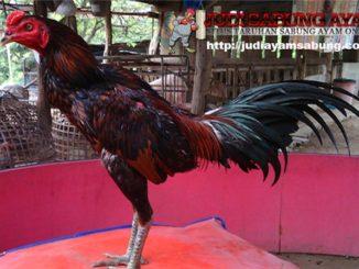 Bentuk-Badan-Ayam-Bangkok-yang-Ideal-untuk-Dijadikan-Petarung-Sejati-min-min