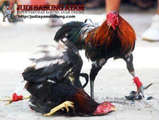 Jenis Ayam Sabung Pisau Terbaik Yang Biasa Digunakan Pada Arena