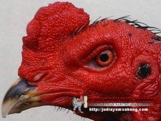 Cara-Mudah-Mengobati-Penyakit-Mata-Pada-Ayam-Bangkok-Aduan-min