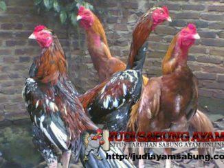 Inilah-5-Penyakit-Ayam-Bangkok-Mematikan-yang-Wajib-Anda-Tahu