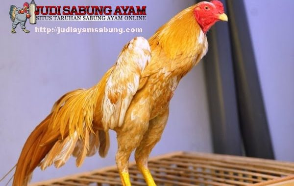 Karakter-serta-Keistimewaan-Ayam-Bangkok-Wangkas-Emas-yang-Unik