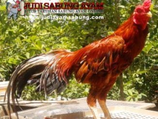 Kriteria-Ayam-Bangkok-Aduan-yang-Paling-Dicari-oleh-Bobotoh