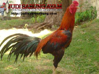 Kupas-Tuntas-Karakter,-Ciri-Khas,-dan-Kelebihan-Ayam-Bangkok-Pakhoy