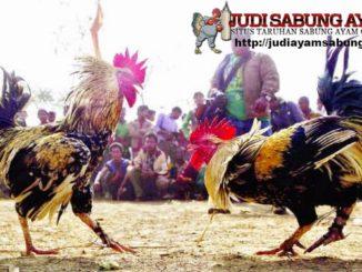 Perbedaan-Antara-Ayam-Jalu-dan-Ayam-Pukul-yang-Perlu-Anda-Ketahui-min