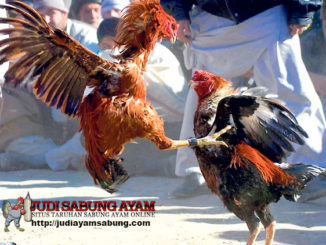 Tips-Ampuh-Untuk-Memperkaya-Teknik-Bertarung-Ayam-Bangkok-Aduan