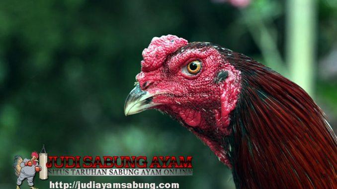 Trik-Membuat-Leher-Ayam-Aduan-Menjadi-Tangguh-dan-Kebal
