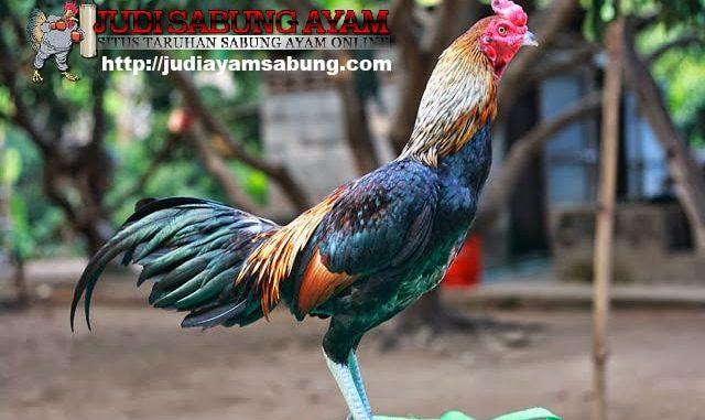 Berikan Perawatan Ayam Bangkok Ini Sebelum Diadu