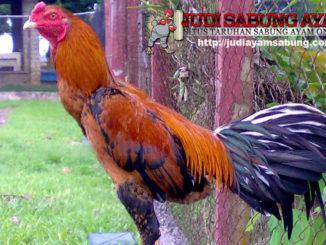 ayam-bangkok-asli-min