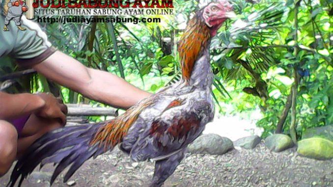 ayam-bangkok-klawu-min