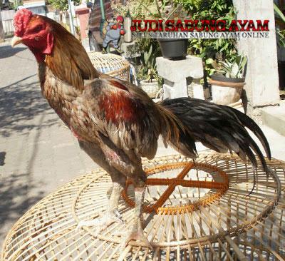 ayam-bangkok-klawu2