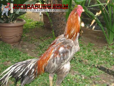 ayam-bangkok-klawu3