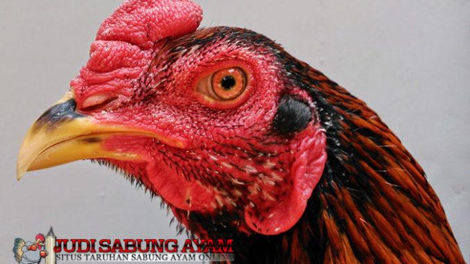 ciri-kepala-dan-mata-ayam-bangkok-aduan-berkualitas-super