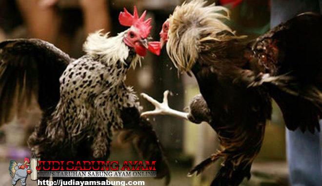 khasiat-tersembunyi-daging-kambing-untuk-ayam-bangkok