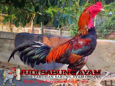 Cara Mengatasi Bulu Ayam Bangkok Yang Rontok