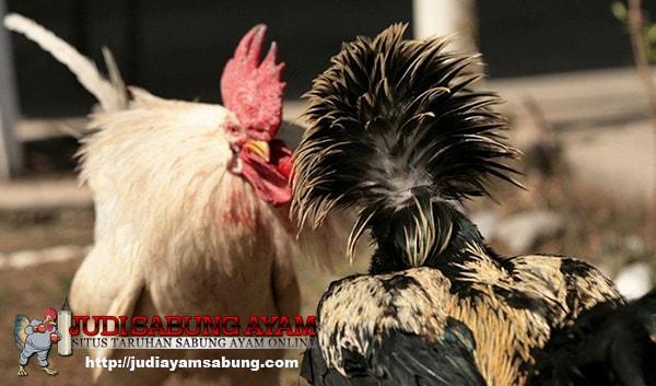 Inilah-10-Ras-Ayam-Laga-yang-Paling-Hebat-Untuk-Kompetisi-Sabung