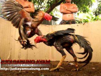 Kemenangan-Ayam-Laga-Ditentukan-oleh-Ayam-atau-Pemilik