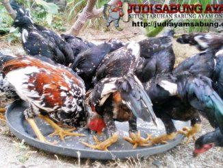 Makanan-Penambah-Stamina-Ayam-Bangkok-Aduan-Paling-Murah-Dan-Mudah