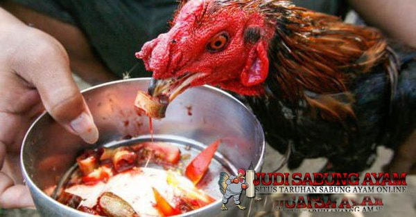 Tips-Pemberian-Pakan-Ayam-Bangkok-Berkualitas-Berdasarkan-Usia-Ayam